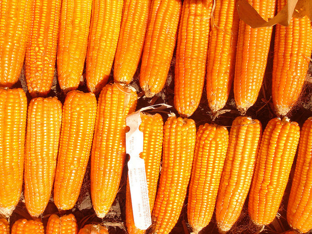 Photo taken from International Maize and Wheat Improvement Center's flickr photostream used under a Creative Commons license