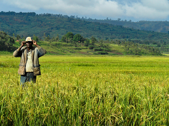 A farmer stands amidst a rice farm in Burundi, Africa. Photo taken from International Rice Research Institute's flickr photostream used under a creative commons license.